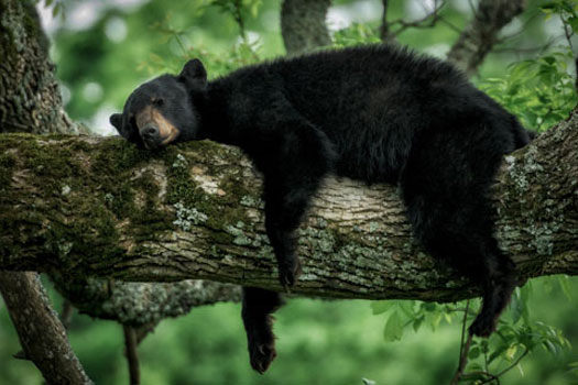 A black bear sleeping on a tree branch.