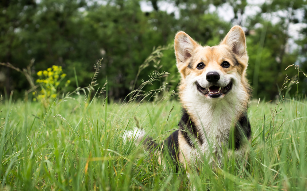 smiling dog sitting in grass