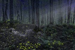 lightning bugs in the smoky mountains